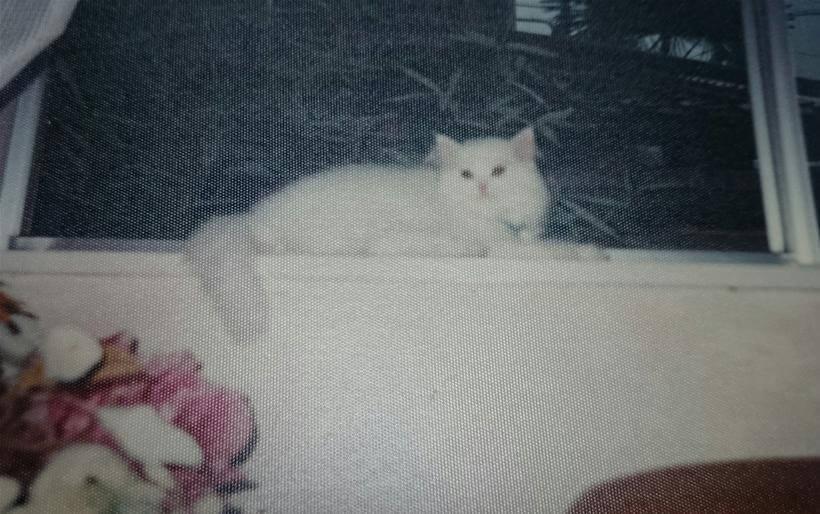 窓際の愛猫ペルシャ