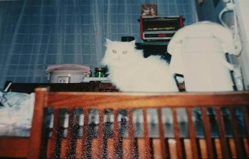 テーブルの上に乗る愛猫ペルシャ