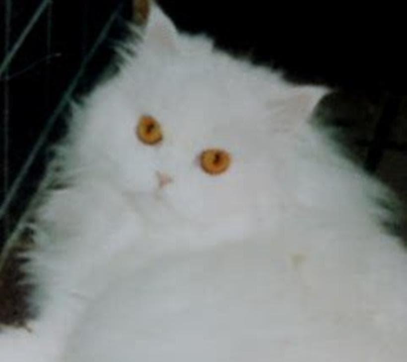 ペルシャ猫の愛猫ペルシャ(ペル)