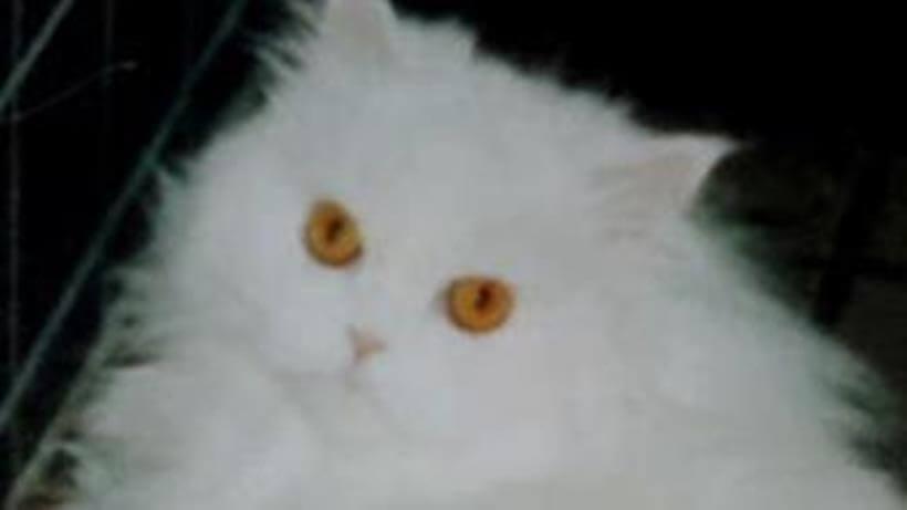 ペルシャ猫のペルシャ(ペル)