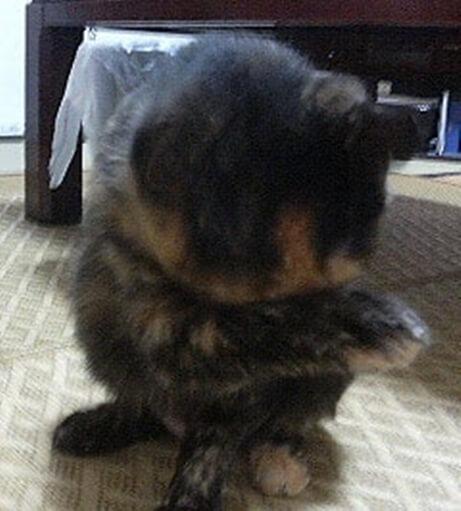顔を洗うサビ猫タム