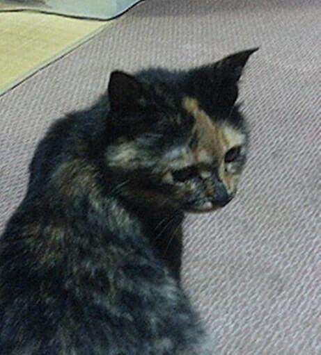 黄昏れるサビ猫タム