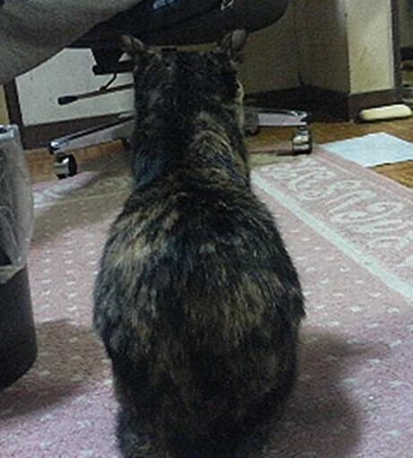 背中を向けるサビ猫タム