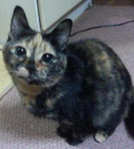 僕のお気に入りサビ猫タムの写真