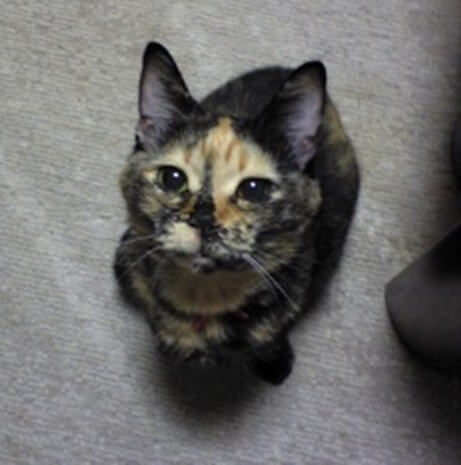 正面にちょこんと座るサビ猫タム