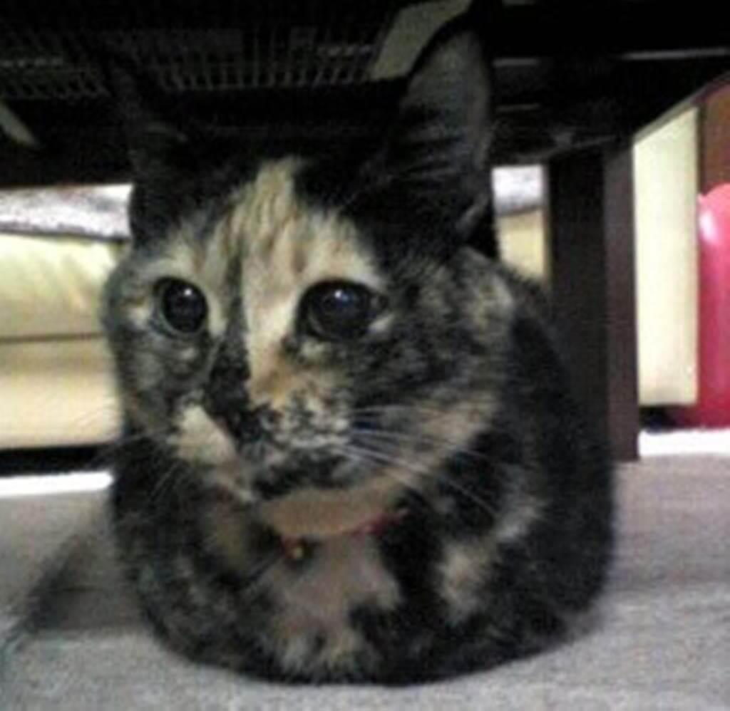 香箱座りするサビ猫タム