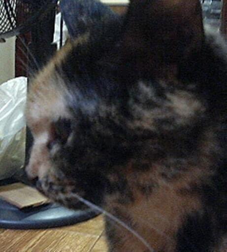 サビ猫タムの横顔
