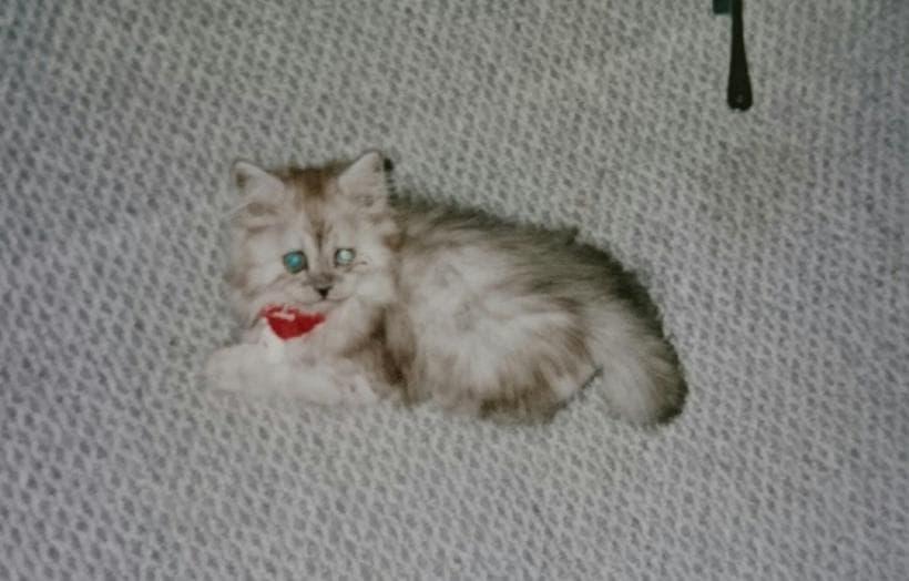 おむすびのような顔した幼少期の愛猫ミュウ