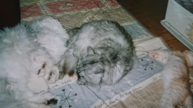 3匹で一緒に寝ている愛猫ミュウ&ピー&チャウ