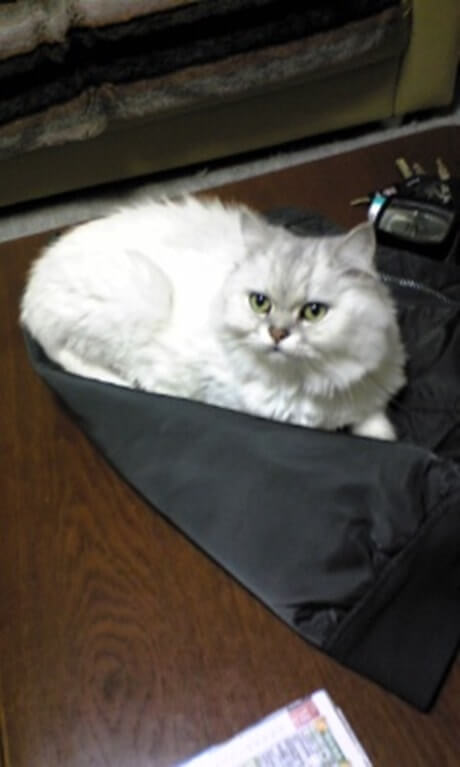 袋の上で横になる長毛種の愛猫ピー