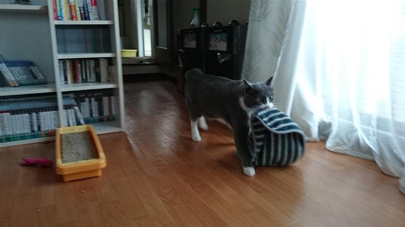 タオルを咥えてどんどんこちらにやってく来る愛猫モコ