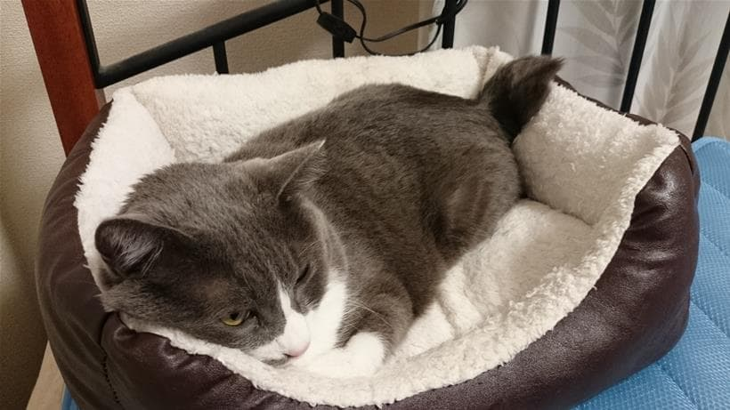 猫ベッドで横になって短い尻尾がペタンコになっちゃってる愛猫モコ