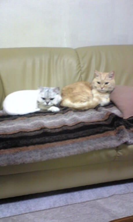 並んでソファにいる長毛種の愛猫ピーと息子のチャウ