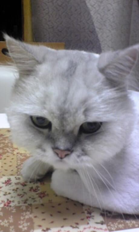 サマーカットされた長毛種の愛猫ピーの顔
