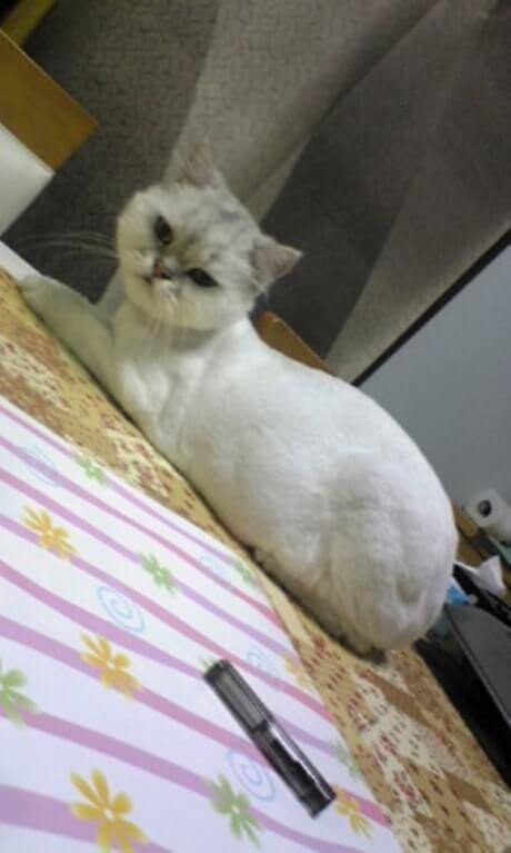サマーカットされた長毛種の愛猫ピー