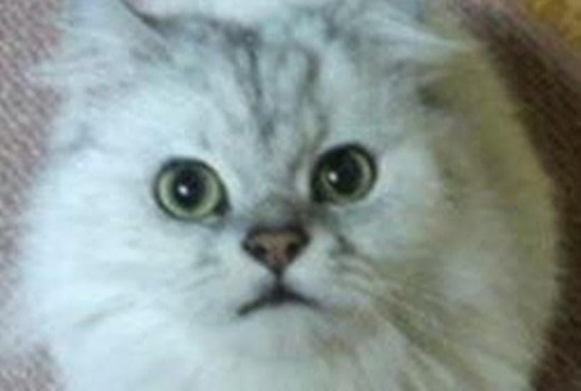 長毛種の愛猫ピー