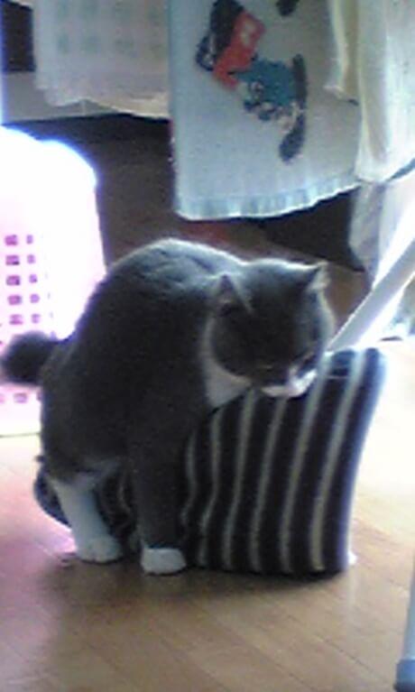 タオルをガッツリ咥えて抱え込む若き日の愛猫モコ