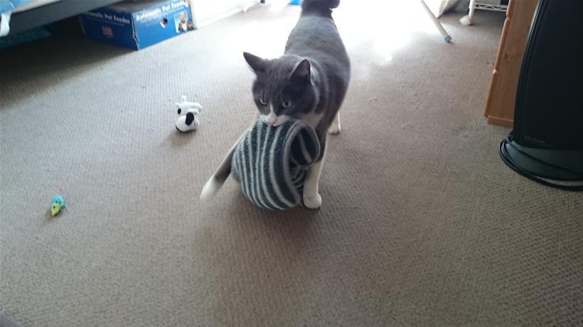 寝室にてタオルを獲得しタオルを咥えて大股開きで歩く愛猫モコ