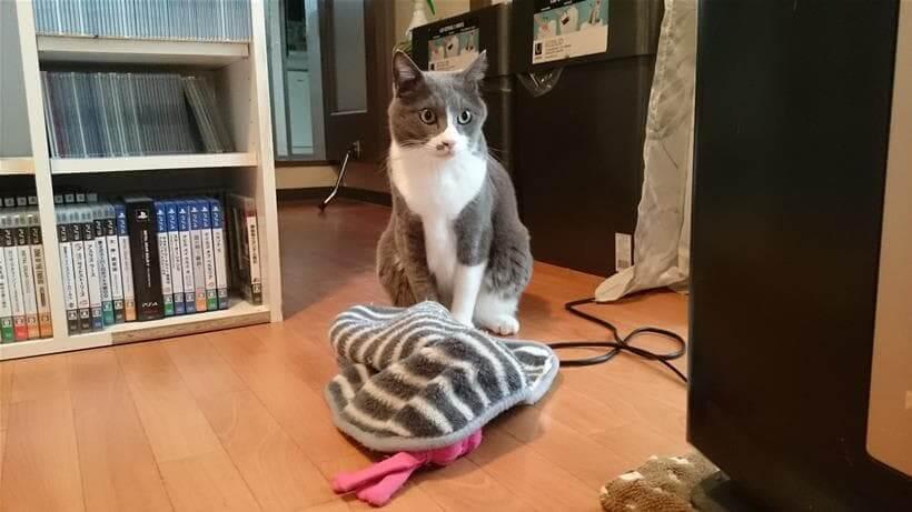 タオルを目の前に置いて何食わぬ顔をしている愛猫モコ