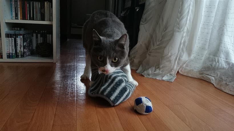 タオルを持って来たぞ!感のある愛猫モコ