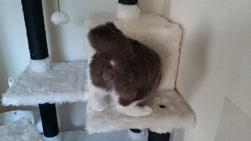 お尻の穴丸出しの愛猫モコ