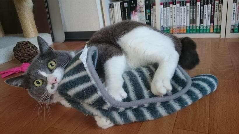 お気に入りのタオルを全身で掴み抱えている愛猫モコ