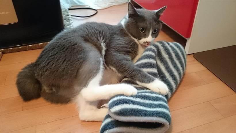 タオルに猫キックしながら舌をペロリンチョする愛猫モコ