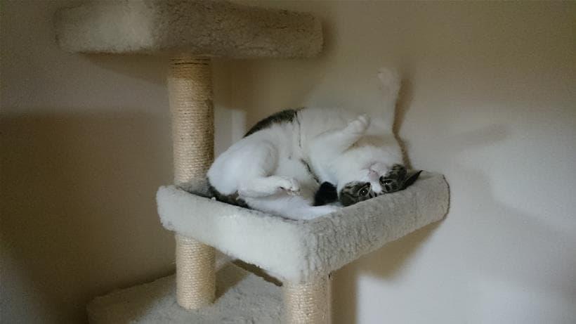 キャットタワーの上でじゃれる愛猫ミミ