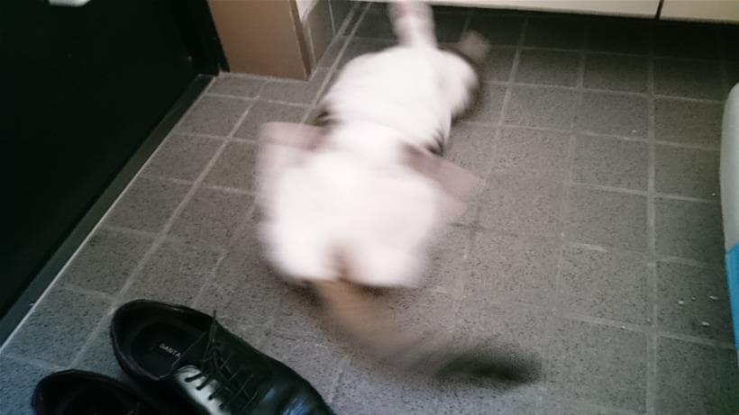 両足と尻尾を激しく揺らし回転する愛猫ミミ