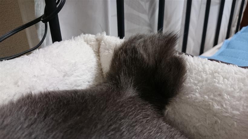 平らになっている愛猫モコの短いかぎしっぽ(上から)