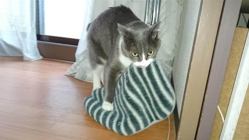 咥えているタオルを踏んでしまう愛猫モコ