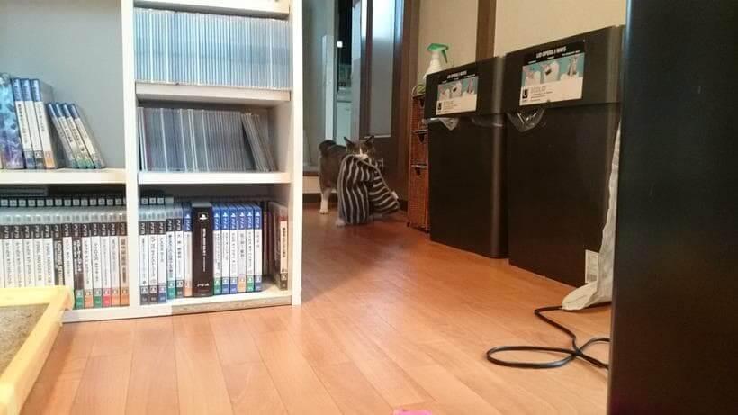 タオルを咥えてこちらにやって来る愛猫モコ