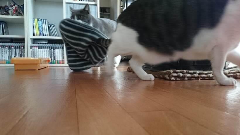 タオルを咥えて歩くモコから逃げようとする愛猫ミミ