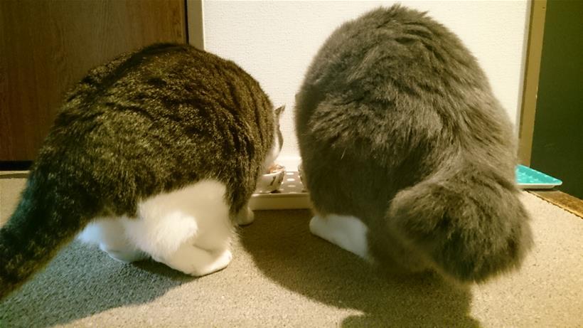 食事中の愛猫モコとミミの後ろ姿(尻尾)