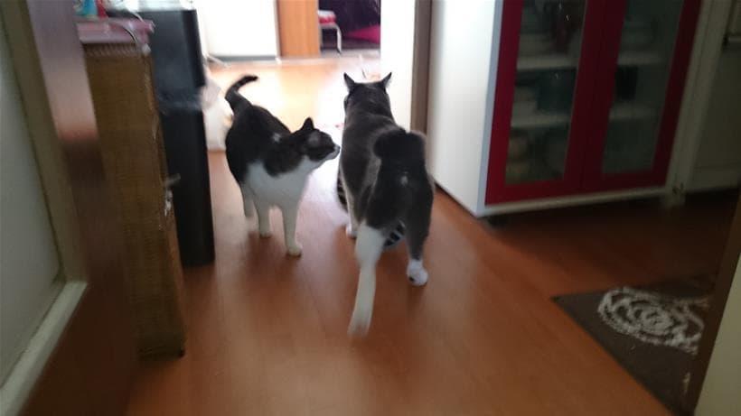 タオルを咥えているモコが気になる愛猫ミミ