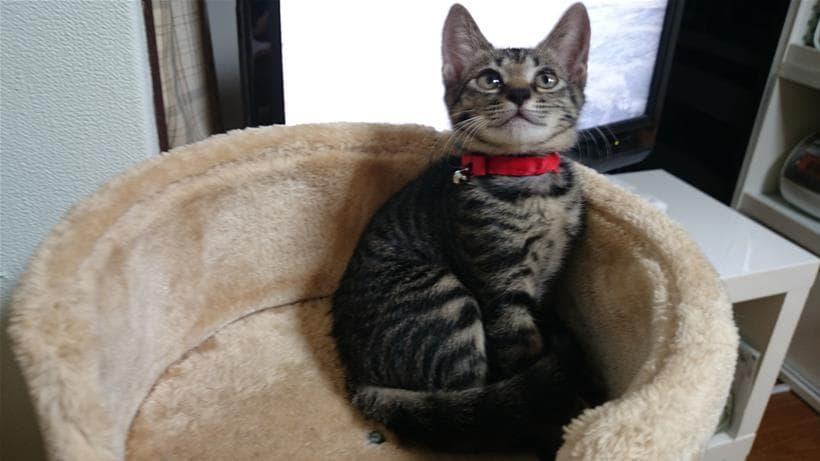 キャットタワーにいる赤い首輪したキジトラのココちゃん