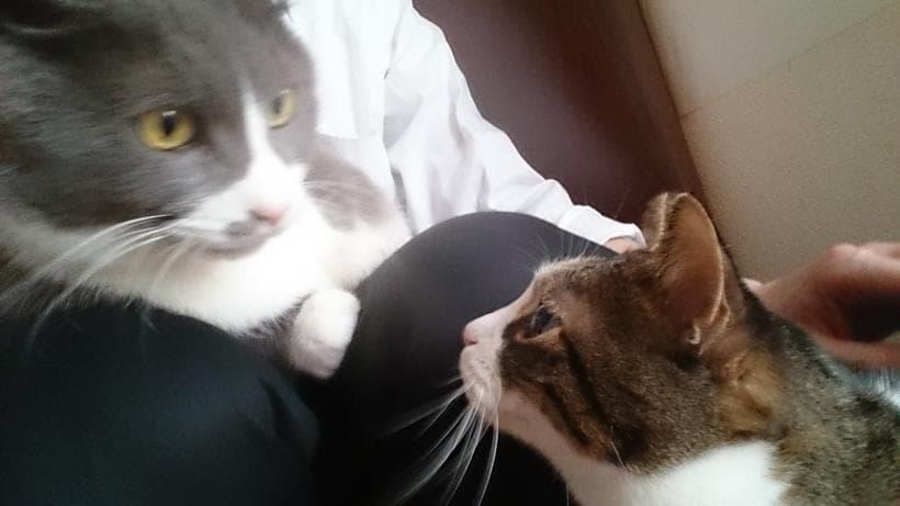 膝の上に乗っかる愛猫モコとそれを見に来た愛猫ミミ