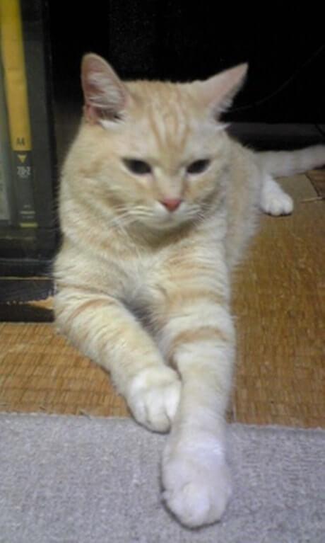 スフィンクス座り?している茶トラ猫チャウ