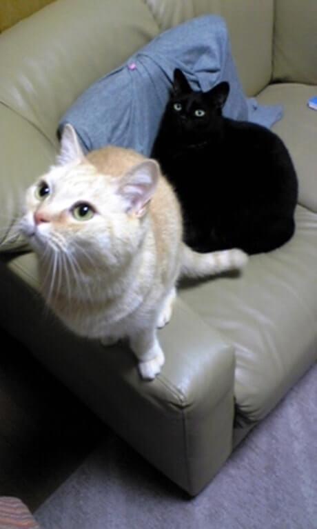 愛猫の茶トラ猫チャウと姉の黒猫ナナちゃん