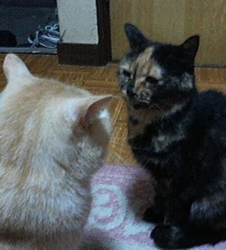 母猫タムに挑む茶トラ猫チャウ①