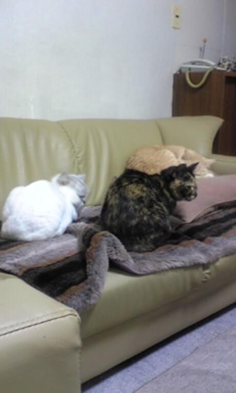 ソファで寛ぐ茶トラ猫チャウと猫家族