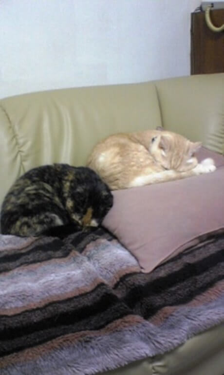 ソファの上で寝る茶トラ猫チャウと母猫タム