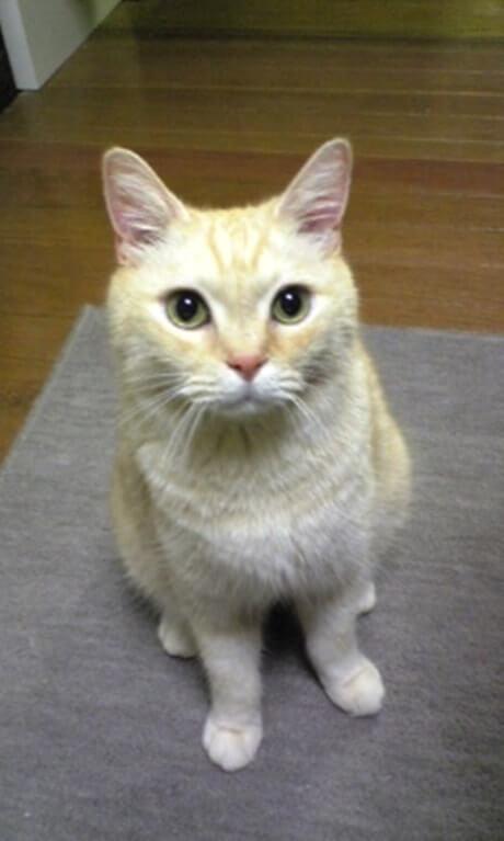 何かを見つけたような顔して座る茶トラ猫チャウ