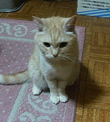足を揃えて座る茶トラ猫チャウ