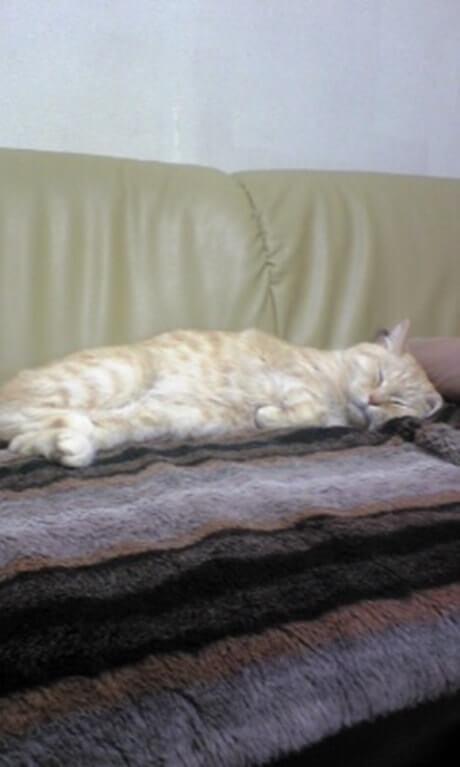 ソファの上で横向きになって眠る茶トラ猫チャウ