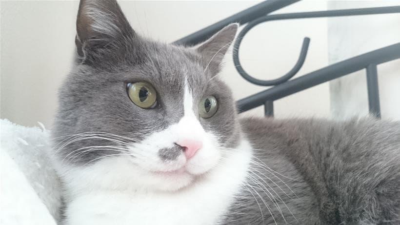 ベッドの上でお澄まししている立派に成長した成猫期の愛猫モコ