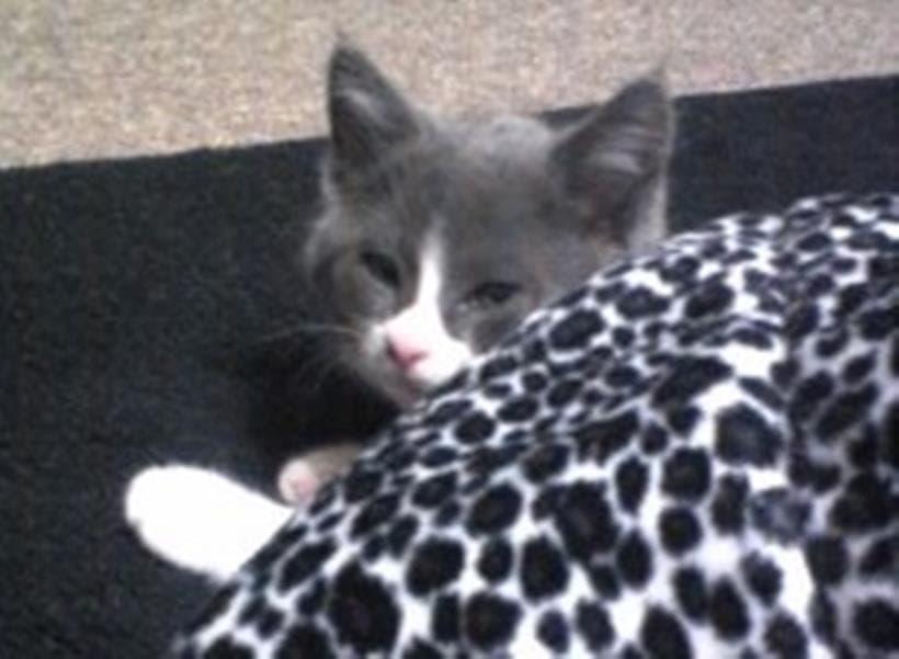 こたつ布団から顔を覗かせる子猫期の愛猫モコ