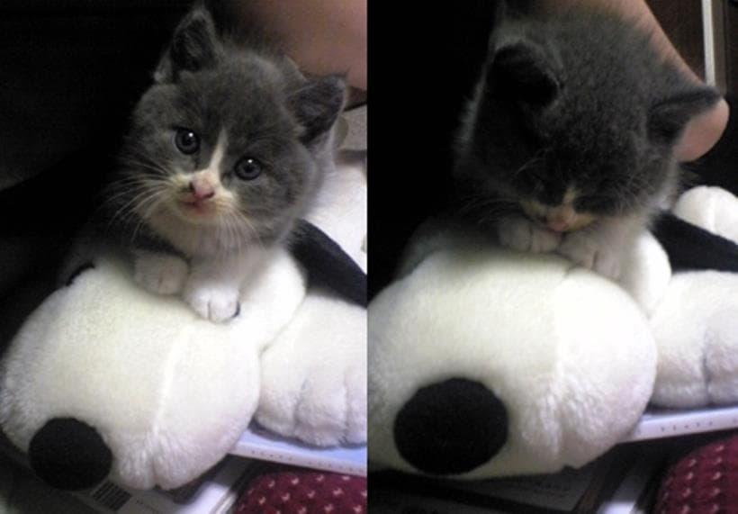 スヌーピーのティッシュケースの上に乗る子猫期の愛猫モコ