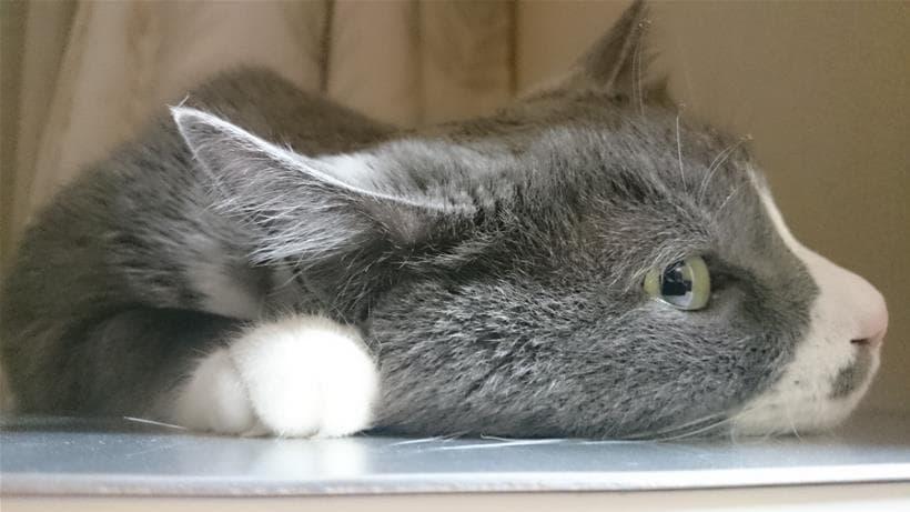 ひんやりプレートと愛猫モコ