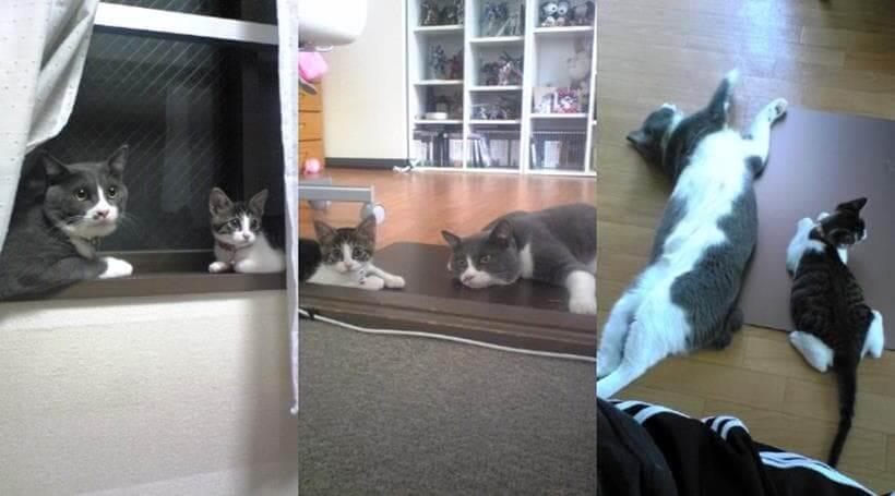 いつも先住猫モコにくっついて行動していた子猫期の愛猫ミミ